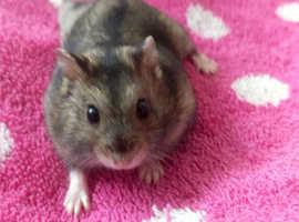 Female Russian dwarf hamster