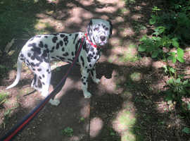 6 months old girl Dalmatian