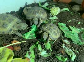 Baby Horsfield Tortoises