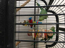 Beautiful bonded Ringnecks