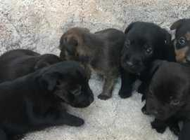 Patterdale puppies