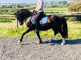 Reg Welsh c 5 year old gelding 12.3 looking for a new best friend