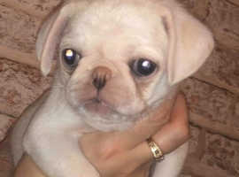 Quality Pug Puppies READY NOW