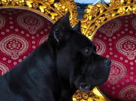 Outstanding pedigree Cane Corso puppies