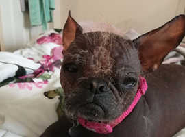 Hairless Chinese crested x chihuahua x pug