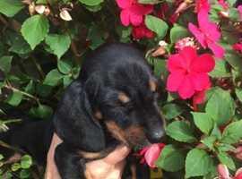 Dachhound pupy