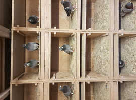 racing pigeons forsale