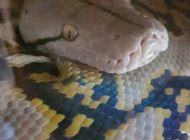 Male Dwarf Reticulated python with full set up