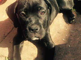 only 1 boy 2 girls left!!!!  Cane corso pups!!