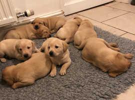 KC Registered Golden/Fox Red Labrador Puppies.