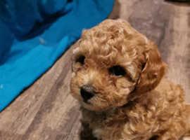 Sold. KC Reg chipoo puppies