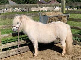 Beautiful fully registered miniature Shetland mare