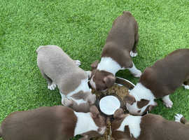 Boston Terrier puppies KC Registered