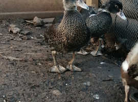 Male and female muscovy