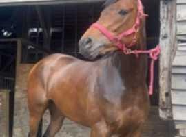 Super Sweet 15,1hh Tb mare