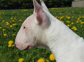 Miniature Bull terrier (2 bitches available)
