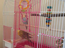 2 budgies for sale with set up need rehomed today