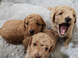 KC Toy Poodle Puppies