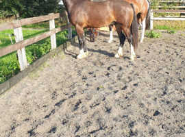 2 year old Welsh section d gelding for sale