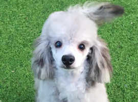 Beautiful Merle Toy Poodle ready for studding