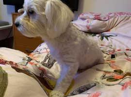 bichon malteze puppy