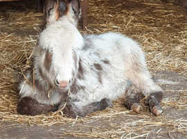 Part miniuitre Donkey forsale Male