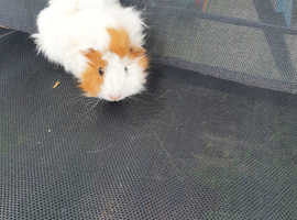 Beautiful  baby female abyssinian Guinea pig.