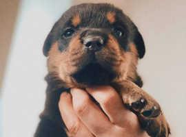 Beautiful Rottweiler girl.