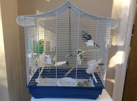 Exhibition Budgies, Male and female Pair