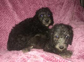 Bedlington terrier puppys