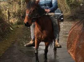 Stunning 6year old Caspian type mare