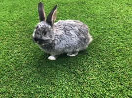 Female rabbit free to good home Dutch x lop.