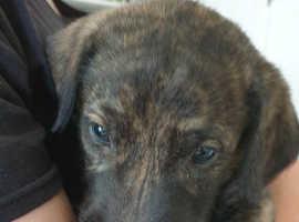 Irish wolfhound  x Deerhound lurcher