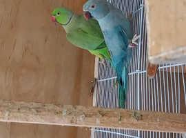 Breeding pair of Ringnecks