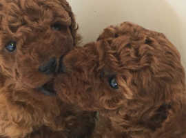 Stunning Champion Toy Poodle Puppies