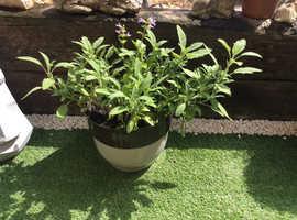 Culinary Sage Plant (Garden)