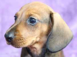 Gorgeous Shaded Red Smooth Miniature Dachshund