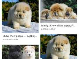 Wanted Chow Chow pup