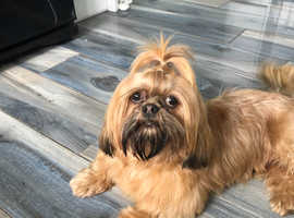 Half imperail shih tzu stud (proven)not for sale