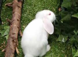 2 female, white lop eared rabbits