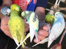 Hand Tamed Budgies For Sale In 4 colours GOING QUICK!