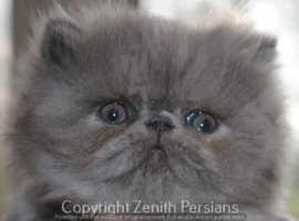 STUNNING PEDIGREE PERSIAN FEMALE KITTEN