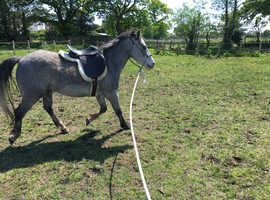 5 year old new forest gelding approx 14hh