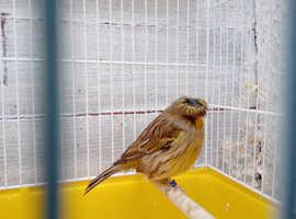 Gloucester canary,