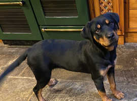 KC registered Rottweiler female