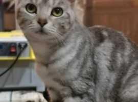 Beautiful Silver tabby x Bengal female cat