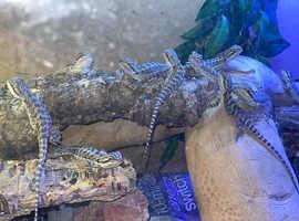 Hatchlings  bearded dragons