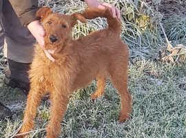 Irish terrier pups