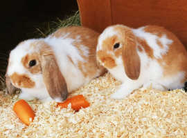 X2 Lop-Eared Rabbits -Male with Xl Lazy Bones Hutch