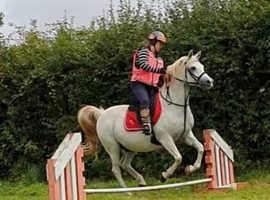 Beautiful registered grey Arab gelding